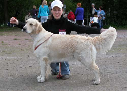 Golden retriever Ambergold GK Felichita