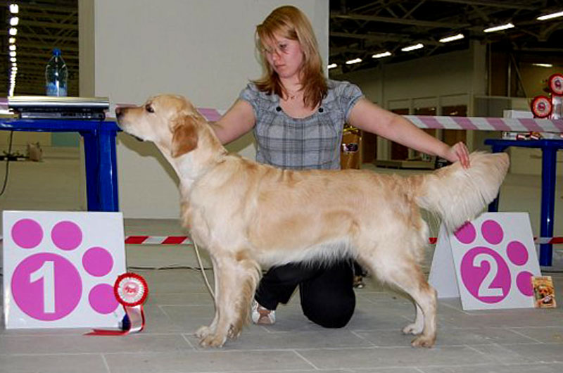 Golden retriever Ambergold GK Silver Dream