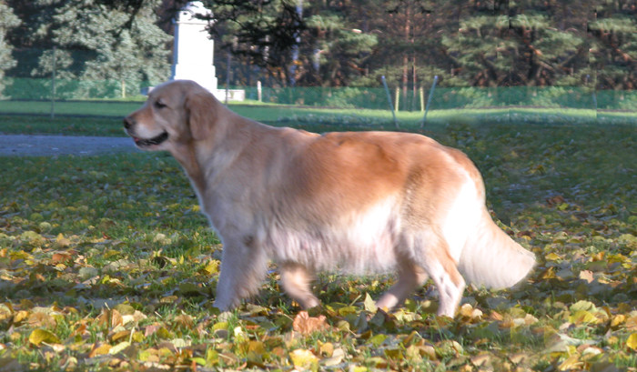 Golden retriever Gerda three days before delivery. Pregnancy and delivery ...