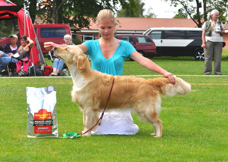 Golden retriever  Ambergold GK Remain as It Is